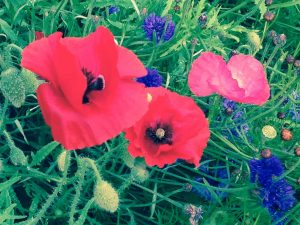 photo of red poppies